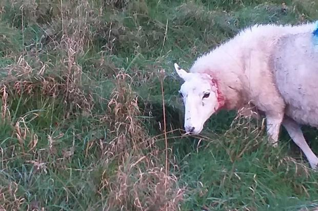 The injured sheep.
