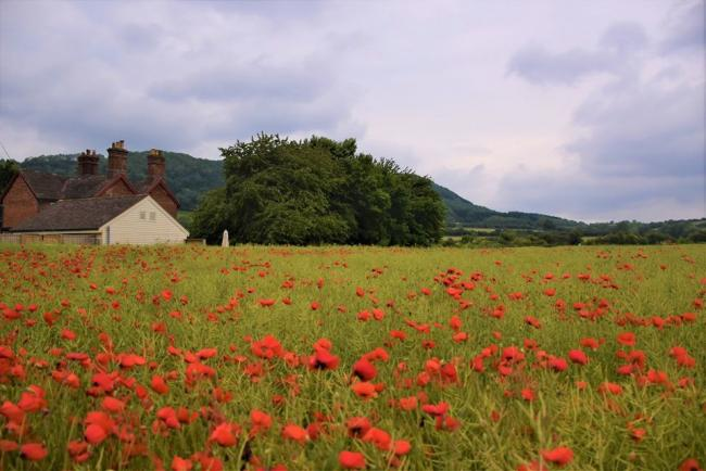 John Savery took this picture of the poppies at Stokesay for the ?Ludlow and Tenbury Wells Advertiser Camera Club