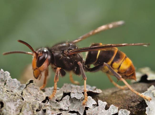 'Bee killer' Asian hornets have been spotted in the UK. Picture: Gilles San Martin