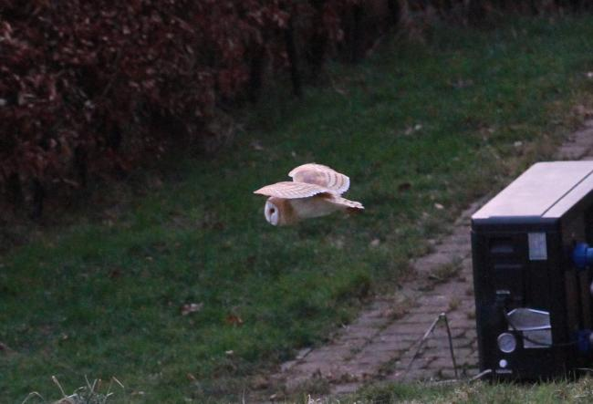 a Barn Owl hunting at Newnham Bridge in broad daylight at 7.30am yesterday morning. Picture: Keith Gluyas