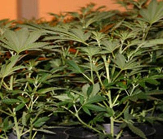 Cannabis was grown at the house in Ludlow using electricity which was abstracted illegally.