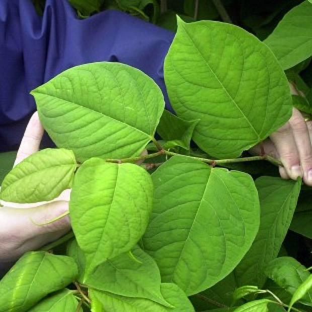 Japanese knotweed is one of many 'alien' species that threaten the UK's wildlife, health and economy, according to a report