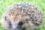 Hedgehog popularity should convert to more protection for the species