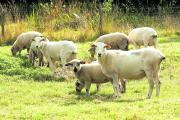 Police in south Shropshire increase checks to beat sheep rustlers