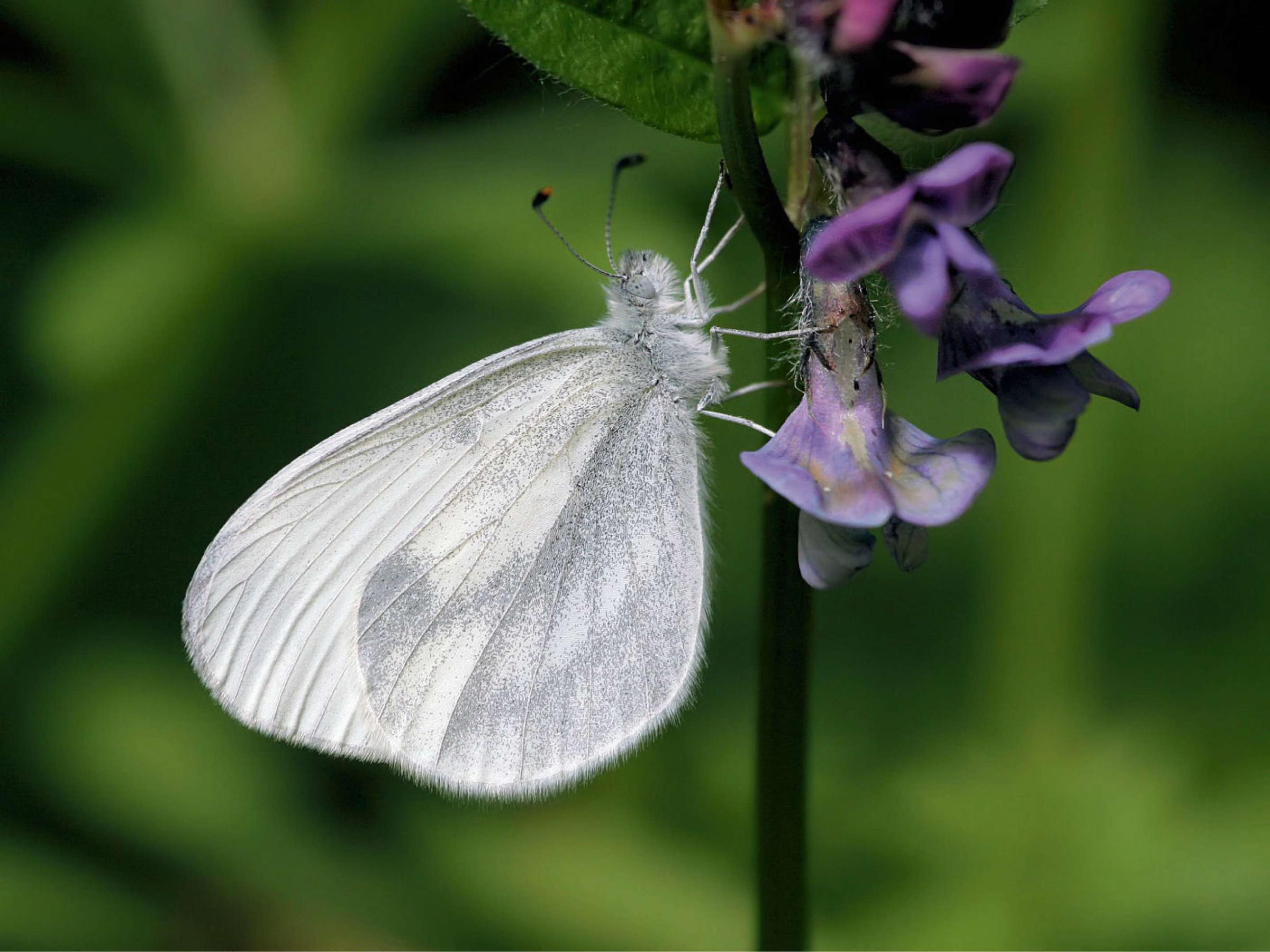 The Wood White butterfly.