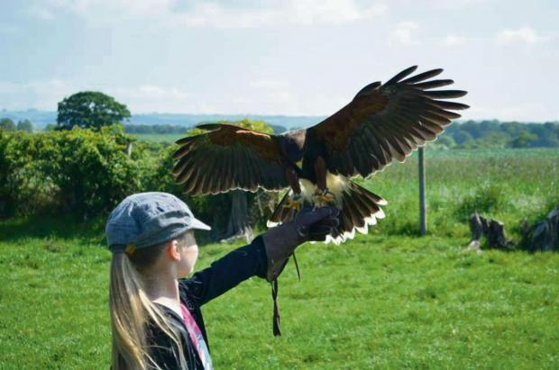 Ludlow Advertiser: Falconry is one of the attractions at the Stretton Medieval Fair.