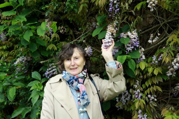 Ludlow Advertiser: Dianna Harker examines Wisteria in the gardens.