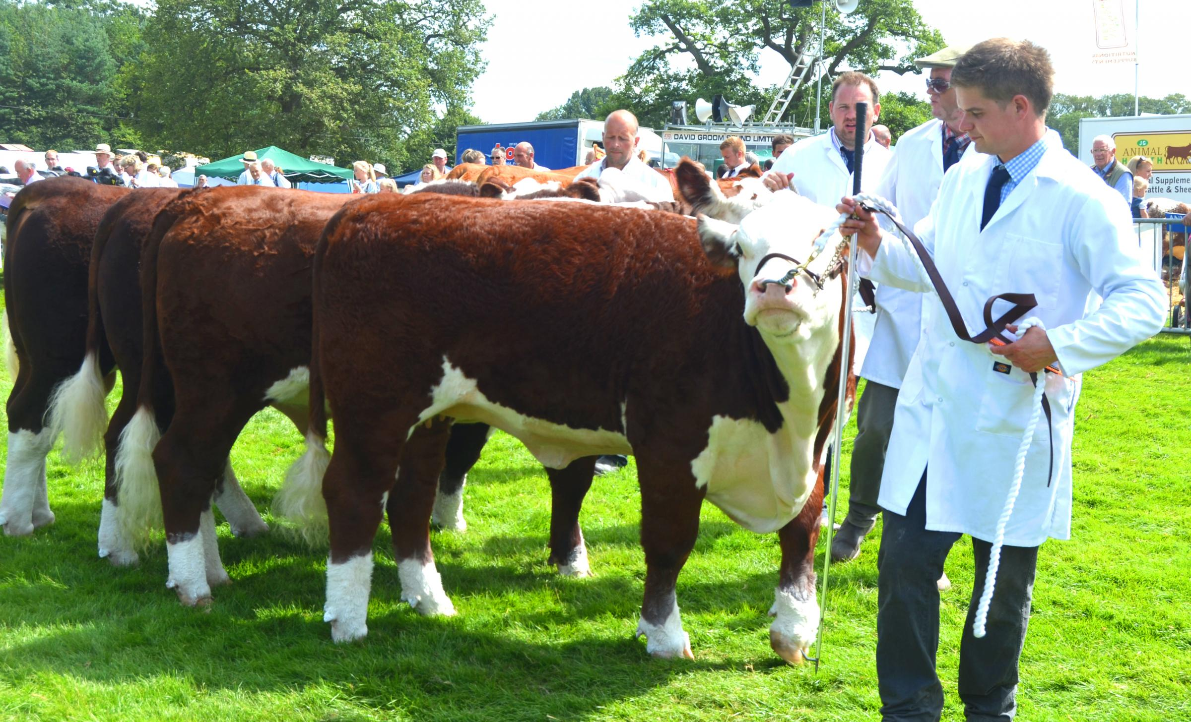 Herefords on parade at Burwarton Show. Photos: Adrian Kibbler.