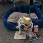Ludlow Advertiser: Rosie the bulldog in Ludlow Town Centre.