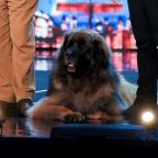 Ludlow Advertiser: Hagrid the 13-stone dog will attempt to break a world record on BGMT