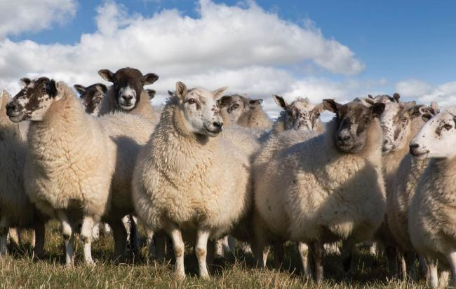 One sheep has been killed by a dog near Ludlow. Stock photo.